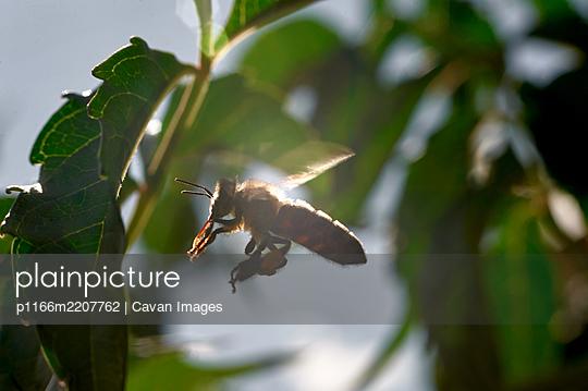 a honey bee in flight near a green leaf in backlight - p1166m2207762 by Cavan Images