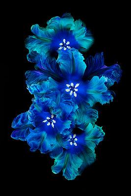 Blue Päonia - p587m1466581 von Spitta + Hellwig