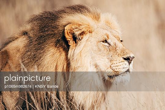 Porträt eines Löwen, Kalahari, Südafrika - p1065m982674 von KNSY Bande