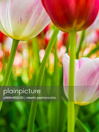 Tulips - p968m892030 by roberto pastrovicchio