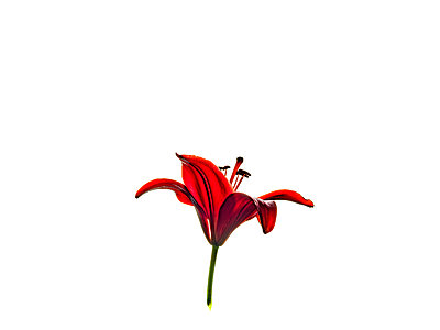 Asiatic lily - p1267m2014005 by Wolf Meier