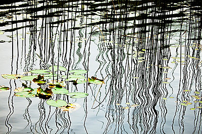 Canada, British Columbia, Reeds And Lily Pads On Lake Near Sechelt. - p442m934912 by Dave Fleetham