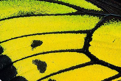 Goliath Birdwing butterfly male - p8842303 by Konrad Wothe