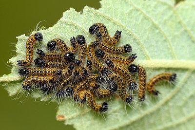 Caterpillars of buff-tips, Phalera bucephala, on leaf - p300m941005f by Mark Johnson