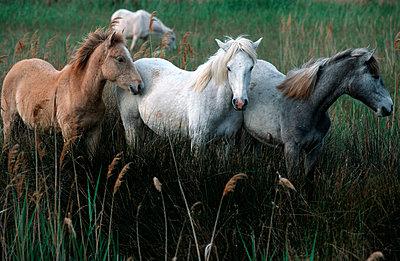 Camargue-Pferde - p3300113 von Harald Braun