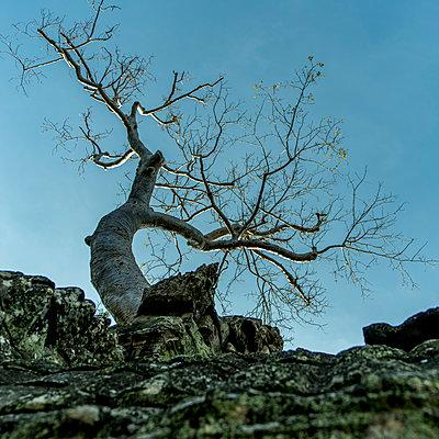 Kahler Baum in den Ruinen von Ta Prohm - p393m1452274 von Manuel Krug