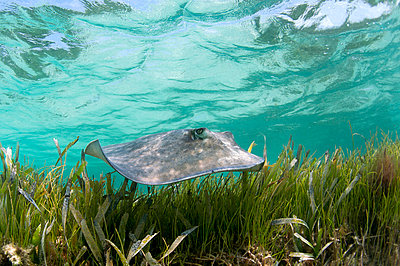 Sting ray swimming in tropical water - p429m767949 by George Karbus Photography