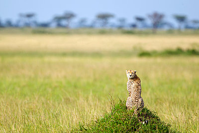 Cheetah sitting in the serengeti plains landscape located in Tanzania with it's head turned back to the camera; Tanzania - p442m940826f by Richard Wear