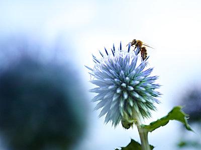 Distel mit Bienen und Hummeln - p897m1556684 von MICK
