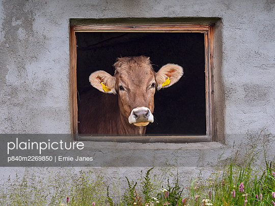 Dairy cow looking out of shed window, Seiser Alm, Dolomites plateau, South Tyrol, Italy, July. - p840m2269850 by Ernie Janes