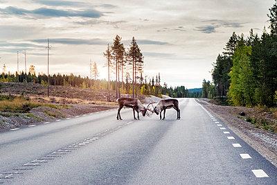 Reindeer on road - p312m1103991f by Hans Berggren