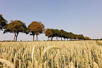 Avenue along a Wheat Field - p570m816661 by Elke Röbken