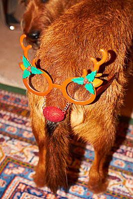 Dog with christmas decoration - p851m1528938 by Lohfink