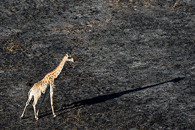 An aerial view of a giraffe (Giraffe camelopardalis) walking in the Okavango Delta after a bushfire, Botswana, Africa - p871m1221585 by Sergio Pitamitz