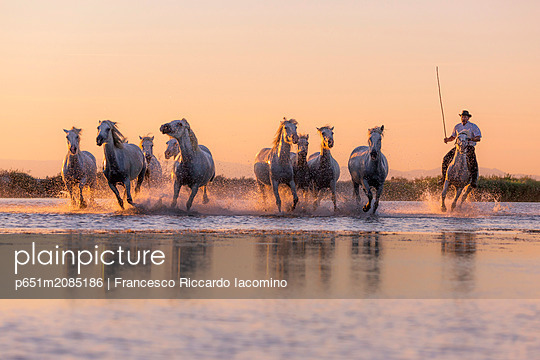 White Wild Horses of Camargue running on water, Aigues Mortes, Southern France - p651m2085186 by Francesco Riccardo Iacomino