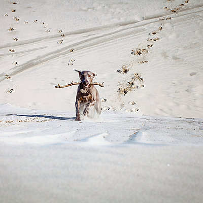 Dog running across dune - p1168m1043216 by Thomas Günther