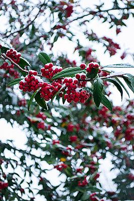 Vogelbeeren im Winter - p1199m2056832 von Claudia Jestremski