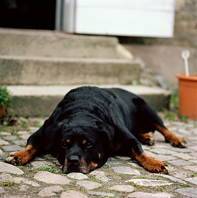 A dog resting on cobbles Skane Sweden - p5281634f by Peter Carlsson