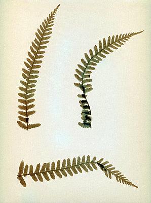 Fern leaves - p945m2163788 by aurelia frey