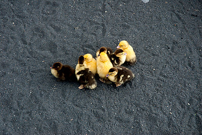 Duckling - p451m908135 by Anja Weber-Decker