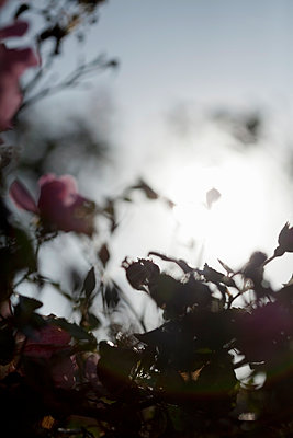 Rosenbusch - p495m907001 von Jeanene Scott