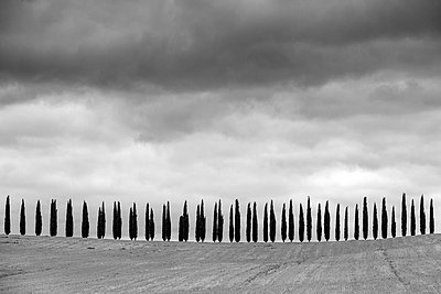Rows of cypress trees at Agritourismo di Poggio Covili, Castiglione d'Orcia, Val d'Orcia, Tuscany, Italy, Europe. - p651m2135737 by Jason Langley photography