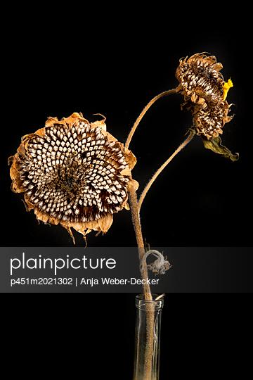 Drei vertrocknete Sonnenblumen - p451m2021302 von Anja Weber-Decker