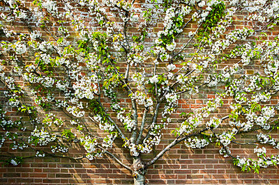 Blossoming pear tree - p1057m911799 by Stephen Shepherd