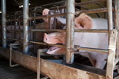 Hungrige Schweine - p1058m831622 von Fanny Legros