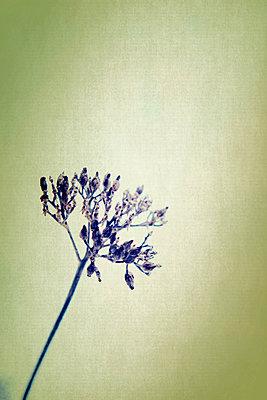Vertrocknete Blüten - p879m1134943 von nico