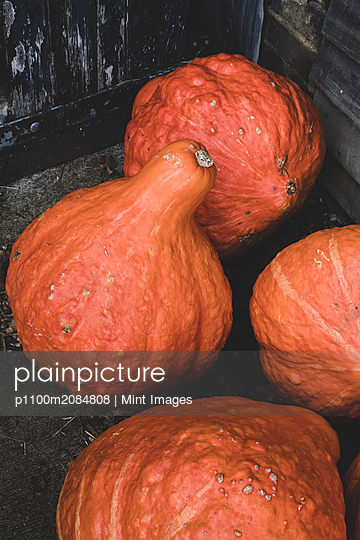 High angle close up of freshly harvested orange Hubbard pumpkins. - p1100m2084808 by Mint Images