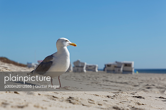 Germany, North Frisia, Sylt, Seagull at the beach - p300m2012555 von Günter Flegar