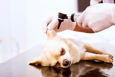 Close-up of vet examining dog in clinic - p300m1469836 by HalfPoint