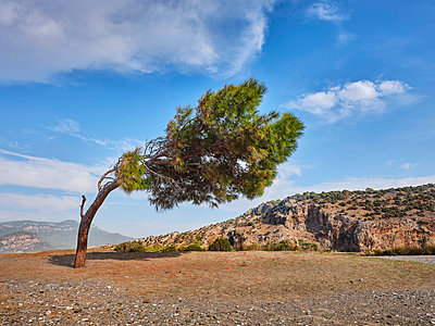 Turkey, Wind swepted tree in the countryside - p390m2253104 by Frank Herfort