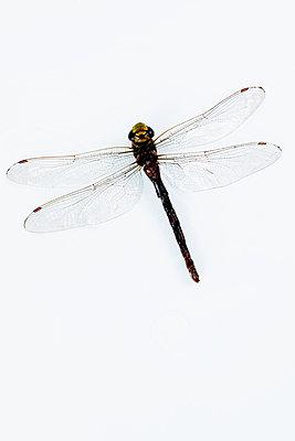 Libelle - p451m2203877 von Anja Weber-Decker