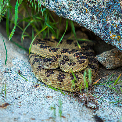 Rattlesnake coiled under rock - p555m1304100 by Steve Smith