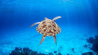 Green Sea Turtle, Palancar Reef, Cozumel, Quintana Roo, Mexico - p924m2068418 by Ken Kiefer 2