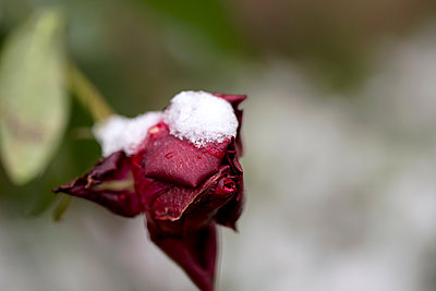 Snow on a Red Rose - p1307m1553050 by Agnès Deschamps