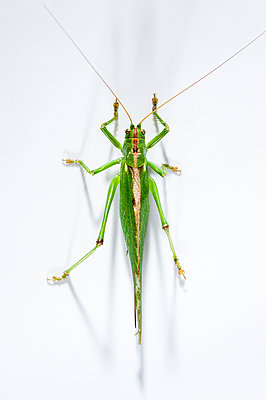Great green bush cricket, Tettigonia viridissima - p1437m2057089 by Achim Bunz