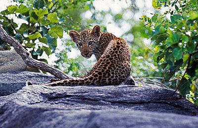 Leopard - p6520747 by John Warburton-Lee