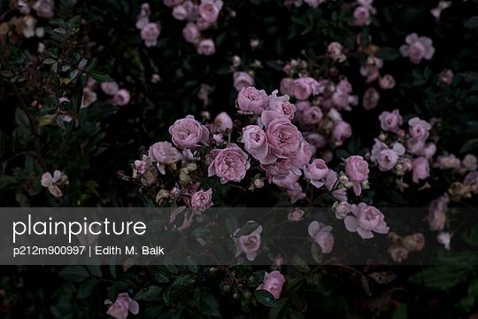 Rosa Rosen - p212m900997 von Edith M. Balk