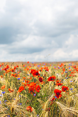 Poppies and cornflowers blooming in summer meadow - p300m2202454 by Anke Scheibe