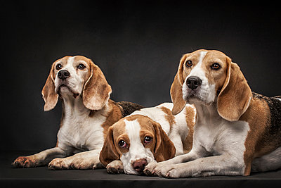 Three dogs - p403m937630 by Helge Sauber