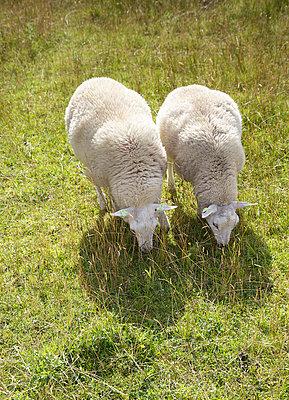 Das doppelte Schaf - p606m890818 von Iris Friedrich