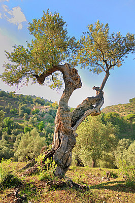 Olive tree - p8850140 by Oliver Brenneisen