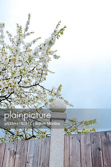 Blühender Kirschbaum - p533m1182317 von Böhm Monika