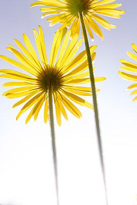 Gelbe Blumen - p110m907513 von B.O.A.