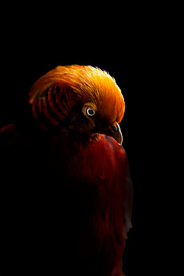 Golden Pheasant - p1242m2205018 by teijo kurkinen