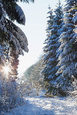 Germany, North Rhine-Westphalia, Eifel National Park, snow-covered path and firs at backlight - p300m1505560 by Gaby Wojciech