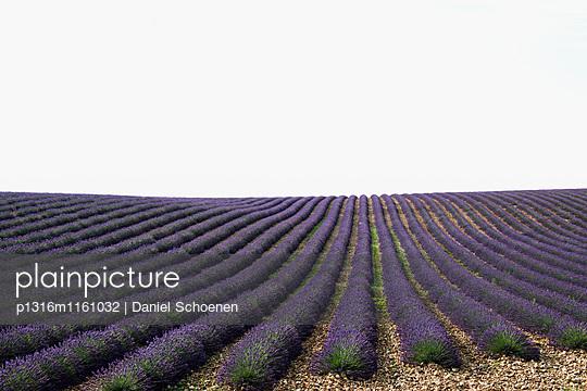 Lavendelfeld, bei Valensole, Plateau de Valensole, Alpes-de-Haute-Provence, Provence, Frankreich - p1316m1161032 von Daniel Schoenen